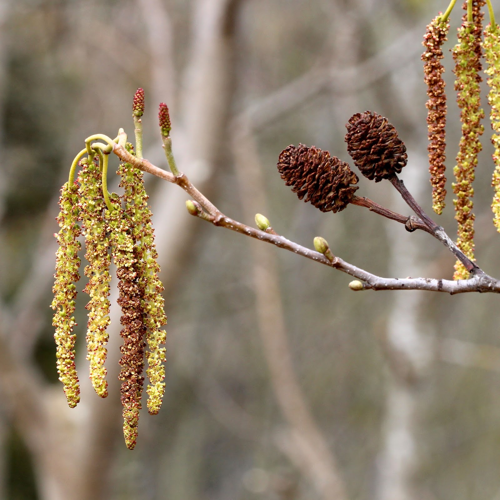 Picture of Alder catkins