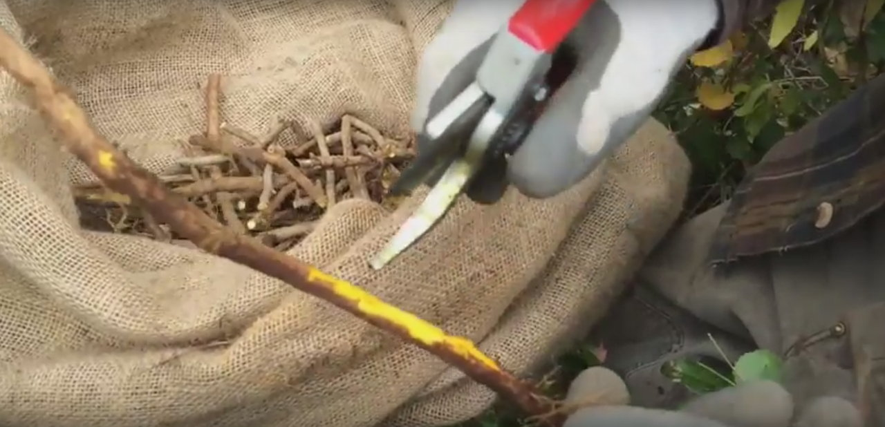 "Wildcrafting Oregon Grape Root with Michael ""Skeeter"" Pilarski"